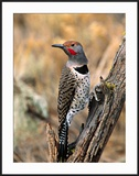 Northern Flicker  Oregon  USA
