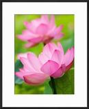 Perry's Water Garden  Lotus Blossom  Franklin  North Carolina  USA