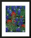 Texas Bluebonnet and Indian Paintbrush  Texas  USA