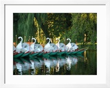 Swan Boats in Public Garden  Boston  Massachusetts