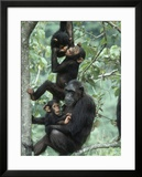 Jane Goodall Institute  Chimpanzees  Gombe National Park  Tanzania