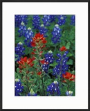 Texas Bluebonnet and Indian Paintbrush  Texas  USA