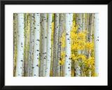Aspen Grove  White River National Forest  Colorado  USA
