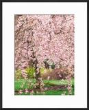Flowering Cherry Tree  Seattle Arboretum  Washington  USA