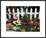 White Picket Fence and Flowers  Sammamish  Washington  USA