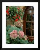 Geraniums and Hydrangea by Doorway  Chateau de Cercy  Burgundy  France