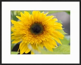Sunflower  Seattle  Washington  USA