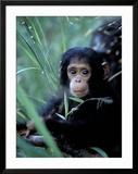 Infant Chimpanzee  Gombe National Park  Tanzania