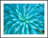 Euphorbia  Roche Harbor  Washington  USA