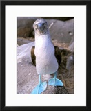 Blue Footed Booby  Galapagos Islands  Ecuador
