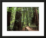 Old Redwood Trees  Muir Woods  San Francisco  California  USA