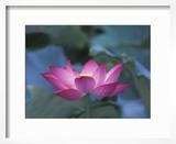Red Lotus Flower  Hangzhou  Zhejiang Province  China