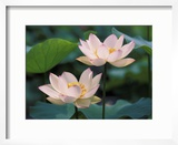 Lotus Flower in Blossom  China