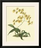 Antique Orchid Study I