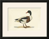 Selby Duck II