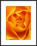 Still Life Photograph  Close-Up of Orange Rose