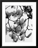 Magnolia Blossoms Silhouetted in Black and White on a Tree