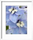 Delpinium Flowers