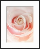 Still Life Photograph  a Pink Rose  Shot with Shallow Dof