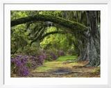 Coast Live Oaks and Azaleas Blossom  Magnolia Plantation  Charleston  South Carolina  USA