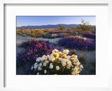 Flowers Growing on Dessert Landscape  Sonoran Desert  Anza Borrego Desert State Park  California