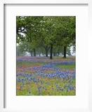 Texas Paintbrush and Bluebonnets Beneath Oak Trees  Texas Hill Country  Texas  USA