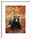 Grizzly Bear Standing Amongst Alpine Blueberries  Denali National Park  Alaska  USA