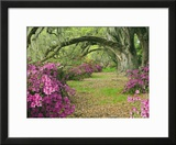 Oak Trees Above Azaleas in Bloom  Magnolia Plantation  Near Charleston  South Carolina  USA