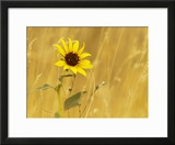 Prairie Sunflower at Palouse Falls State Park  Washington  USA