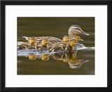 Mallard Duck and Chicks Near Kamloops  British Columbia  Canada