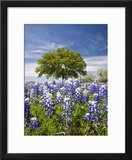 Texas Bluebonnets and Oak Tree  Texas  USA
