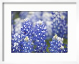 Close Up of Group of Texas Bluebonnets  Texas  USA