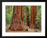 Close-Up of Sequoia Trees in Forest  Yosemite National Park  California  Usa