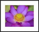 Lotus Bloom in the Summer  North Carolina  Usa