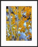 Autumn Leaves on Aspen Tree in the Sierra Nevada Range  Bishop  California  Usa
