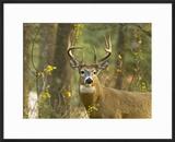 Whitetail Deer Buck in Whitefish  Montana  Usa
