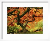 Japanese Maple in Full Fall Color  Portland Japanese Garden  Portland  Oregon  USA