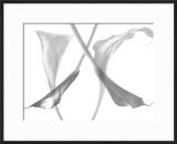 Diaphanous Calla Lilies