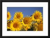 Bright Sunflowers Near Saint Remy Do-Provence  France