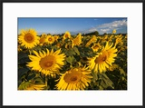 Bright Sunflowers Near Saint Remy Do-Provence  France