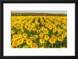 Sunflower and Corn Field in Morning Light in Michigan  North Dakota  USA