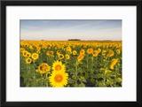 Sunflower Field in Morning Light in Michigan  North Dakota  USA