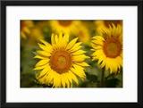 Sunflowers in a Field Near Saint Remy-De-Provence  France