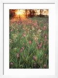 Tall Grass Prairie  Iroquois County State Wildlife Area  Illinois  USA