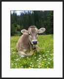 Grazing Cattle  Tyrol  Austria