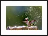 Anna's Hummingbird Taking a Shower  Santa Cruz  California  USA