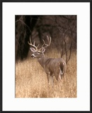 A White Tailed Deer in Choke Canyon State Park  Texas  USA