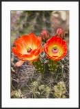 Claret Cup Cactus  Arizona-Sonora Desert Museum  Tucson  Arizona  USA