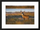 White-Tailed Deer (Odocoileus Virginianus) Male in Habitat  Texas  USA