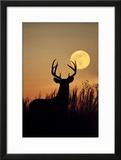 White-Tailed Deer (Odocoileus Virginianus) at Harvest Moon  Texas  USA